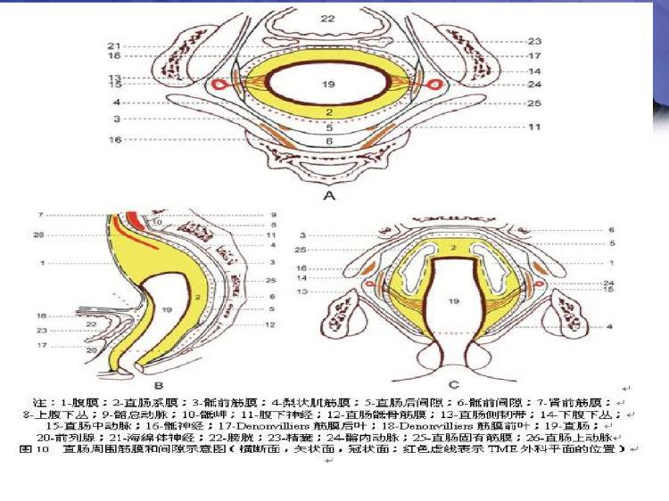 腹腔镜直肠癌相关解剖PPT
