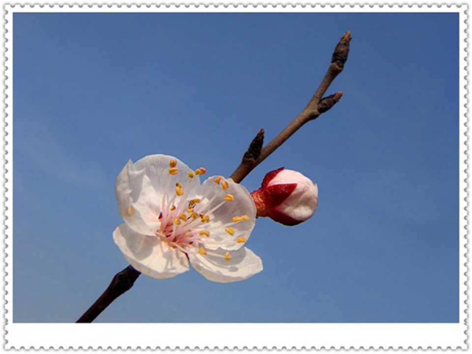 《第一朵杏花》PPT课件3