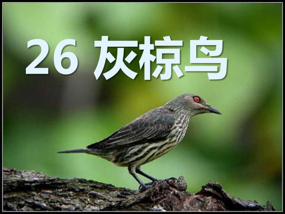 《灰椋鸟》PPT课件3