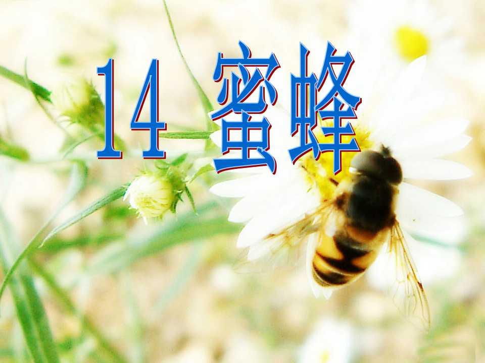 《蜜蜂》PPT教学课件3