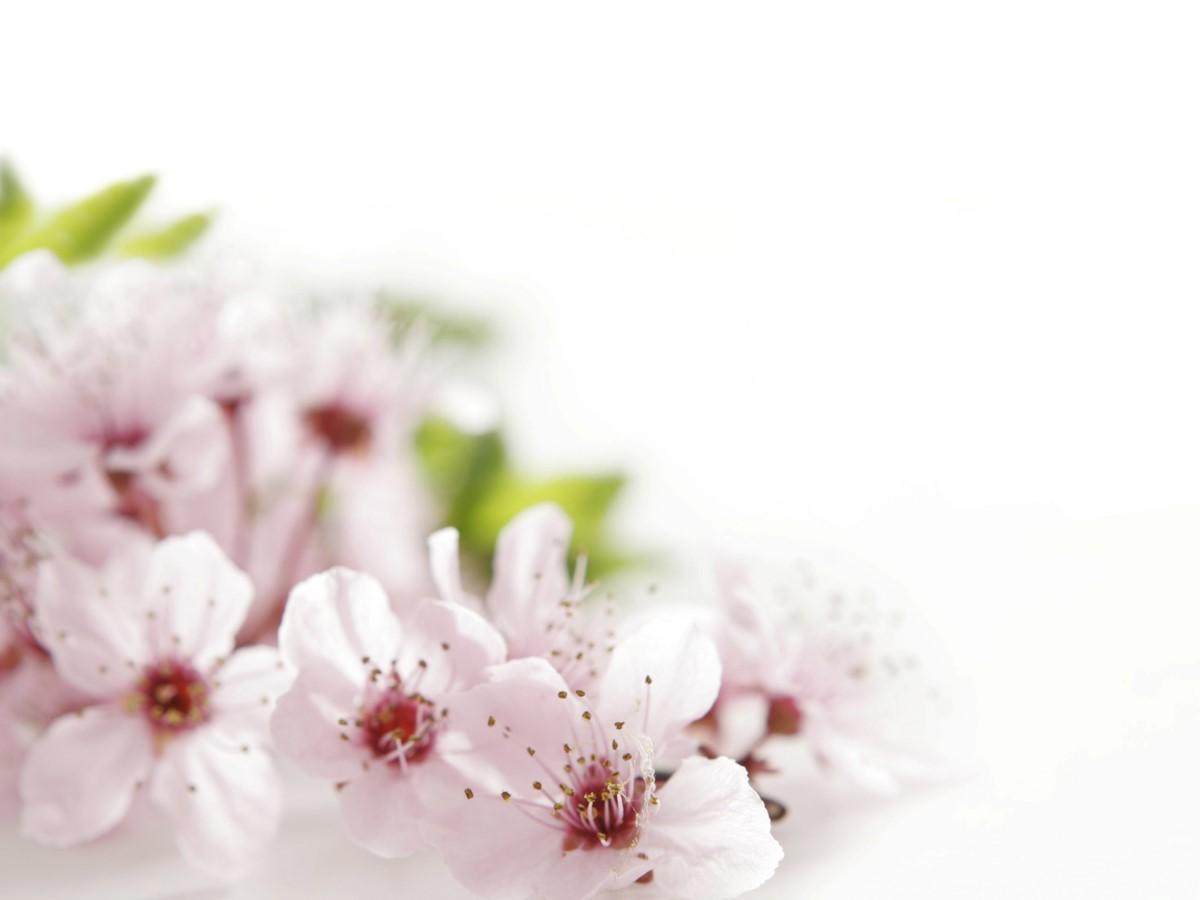 粉色桃花背景植物类幻灯片模板